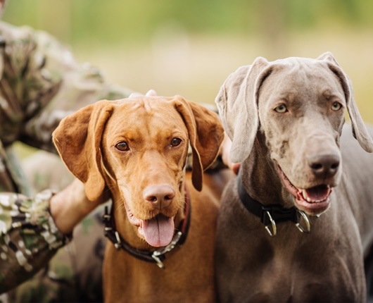 Dog training - dogs trained for hunting
